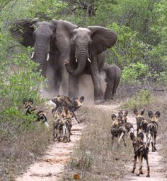 African elephants come face to face with one of Africa's most fearless animals, wild dogs, at the Sabi Sands Private Game Reserve near Kruger National Park in South Africa