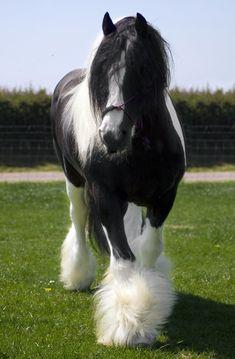 Big Horses, Cute Horses, Pretty Horses, Horse Love, Majestic Horse, Majestic Animals, Most Beautiful Horses, Animals Beautiful, Clydesdale Horses