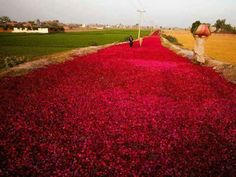 Red roses spread on the road to dry. Patto-ki near Lahore Punjab Pakistan.