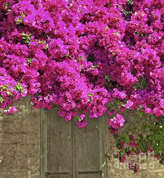 A magnificent bougainvillea growth on the window of a deserted cottage  adding in the mystery .