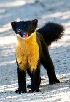 The Nilgiri marten is the only species of marten found in southern India. Very little is known about these elusive, enchanting creatures.