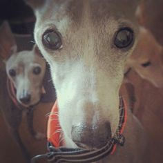 ~ Sweet Face Italian Greyhounds~
