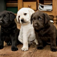 These cute little Labradors will soon be playing around our house! :)