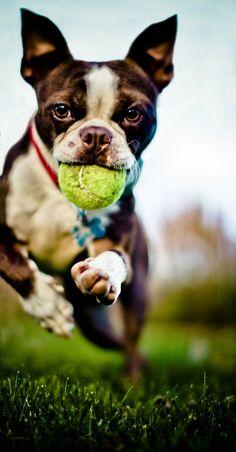 Boston Terrier - Play Ball