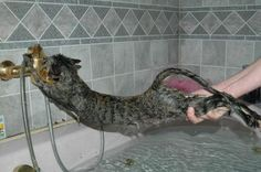 I actually laughed out loud...and snorted!  Anyone who has tried to give a cat a bath has seen this pose before.