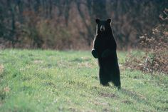 Maine has the largest population of black bears in the lower 48 states. A fact that warrants a standing ovation.