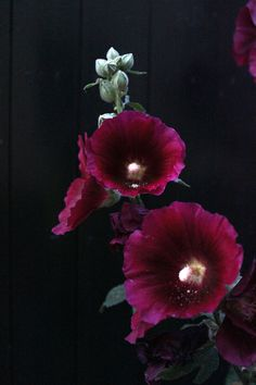 The beauty of a Hollyhock