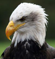 Eagle by John Glass
