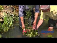 How to plant water plants with P Allen Smith and Laguna Ponds - YouTube