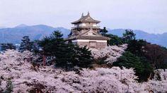 丸岡城天守(と桜)