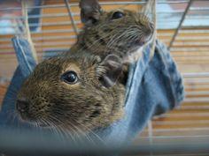 degu Degu, Capybara, Spirit Guides, Rodents, Chinchilla, Squirrels, Rabbits, Diy Ideas, Cute Animals