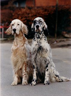 english setters..such beautiful dogs