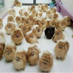 Nice #Pomeranian