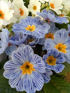 Pale Blue and White Primroses, Aldridge, Walsall UK.  English Blue-White Striped Primroses   Content in a Cottage