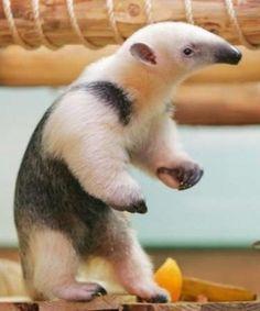 Baby Pet Anteater
