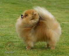 My Pomeranian teddy looks JUST like this one!