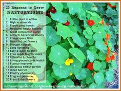 20 USES FOR NASTURTIUMS. Find out how you can benefit by growing this edible, pest-repellent companion plant. Medicinal uses, fragrance, living mulch + Garden Pests, Herb Garden, Potager Garden, Organic Gardening, Gardening Tips, Vegetable Gardening, Cactus, Garden Guide, Garden Ideas