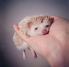 We've gathered our favorite ideas for 10 Adorable Hedgehog Pics To Celebrate Hedgehog Day, Explore our list of popular images of 10 Adorable Hedgehog Pics To Celebrate Hedgehog Day. Hedgehog Day, Cute Hedgehog, Albino Hedgehog, Cute Creatures, Beautiful Creatures, Animals Beautiful, Cute Baby Animals, Animals And Pets, Funny Animals