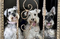 Miniature Schnauzers by SharewithYou2011