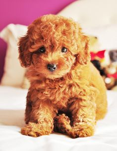 teddy bear puppy/ maltipoo (maltese poodle mix)...im gonna breed my dog with my friends poodle and BAM!!