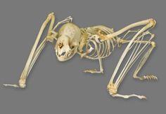 Vampire Bat skeleton http://www.skullcleaning.com/skull-cleaning-services/3/Skeleton-Articulation.htm