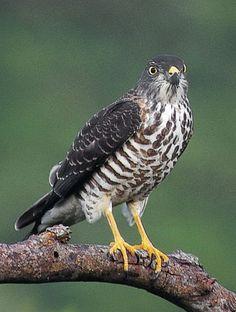 Sparrowhawk Bird | Chinese Sparrowhawk Accipiter soloensis - Juvenile