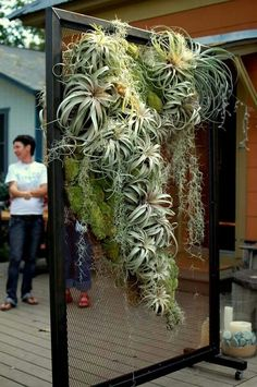Hanging air plant wall. www.ContainerWaterGardens.net