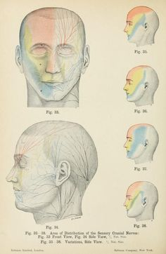 Fig. 33-38. Area of distribution of the sensory cranial nerves. Atlas of applied (topographical) human anatomy for students and practitioners, By Bardeleben, Karl Heinrich von, 1849-1919 (https://pinterest.com/pin/287386019948644625), Haeckel, Ernst, 1834-1919 (https://pinterest.com/pin/287386019948542096), 1906 (https://pinterest.com/pin/287386019948642900).