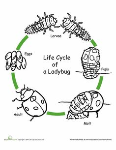 Worksheets: Color the Life Cycle: Ladybug