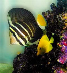 Pez, amarillo, peces, acuario, pecera, rayado, agua, coral, Fish, yellow fish, aquarium, fish tank, striped, water, coral