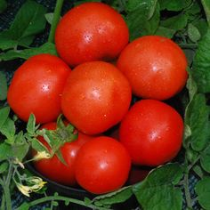 Plant World: First in the Field Tomato