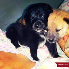 Adopt Happiness! Pom-mix male pup for adoption - Delhi/NCR.Please call 9810735649or emailshamvi.sharma@gmail.com