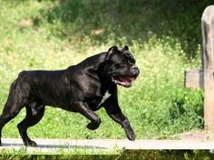 cane corso love the massive build of these very lethal dogs. Cane corso dogs are illegal in many states and countries due to their tendancies for aggression