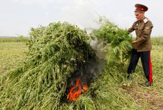 A Russian Cossack burns cannabis plants during a raid near the settlement of Yemelianovo outside Krasnoyarsk