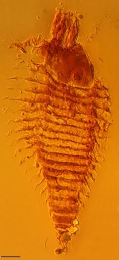 The researchers discovered the creatures while doing a survey of the lifeforms encased in 70,000 droplets, each just a few millimeters in diameter. The amber comes from the Heiligkreuz Formation in northeastern Italy, and it contains plenty of microorganisms, such as bacteria and algae, that make it clear that the droplets formed during the Triassic era, 250 to 200 million years ago.