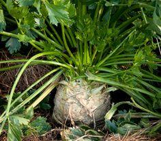Celery Root/Celeriac