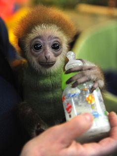 BB Gibbon