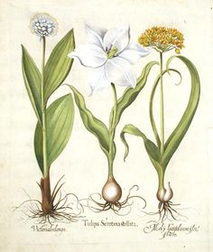 garlic illustrations
