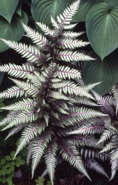 """Japanese Painted Fern """"Silver Falls"""" - contrast well with hostas and other shade plants. White Gardens, Grasses For Shade, Potted Plants For Shade, Flowers For Shade, Evergreens For Shade, Evergreen Ferns, Potted Ferns, Red Plants, Exotic Plants"""