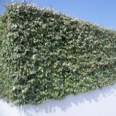 Haie d& ebbingei - Eleagnus ebbengei Screen Plants, Cedar Garden, Comment Planter, Coastal Gardens, Backyard, Patio, Go Green, Mykonos, Hedges