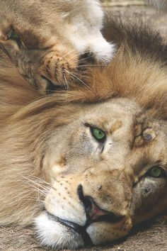 animal, green, and lion image Lion And Lioness, Lion Of Judah, Big Cats, Cool Cats, Beautiful Cats, Animals Beautiful, Regard Animal, Grand Chat, Animals And Pets