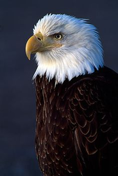 Never underestimate the powers of a Bald Eagle. You'd be a fool to do so.