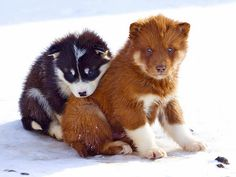 Greenland husky colorful puppies