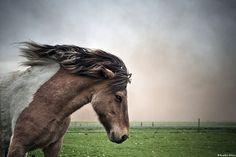 Icelandic horse in the volcanic ash by skarpi - www.skarpi.is, via Flickr