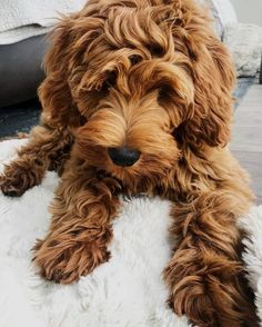 We love doodles! Cute Baby Dogs, Cute Dogs And Puppies, Cute Baby Animals, Funny Animals, Doggies, Mini Goldendoodle Puppies, Goldendoodles, Labradoodles, Standard Goldendoodle
