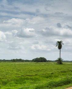 Los llanos venezolanos se conocen por poseer las más extensas zonas llenas de verdes sabanas. Cojedes, Venezuela