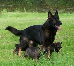 Black sable German Shepherd mom with pups | DDR German Shepherd Puppies for Sale | Working German Shepherd Puppies