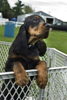 Gordon Setter Puppy | Flickr - Photo Sharing!