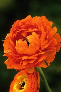 I love these bright orange flowers! I want them in my yard! :) Ranunculus 'Double Orange'