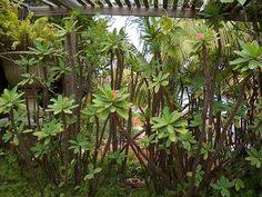 Splendens aka Crown of Thorns Echeveria, Euphorbia Milii, Garden Cafe, Crown Of Thorns, Plants, Cacti, Gardens, Propagate Succulents, Jade Plants